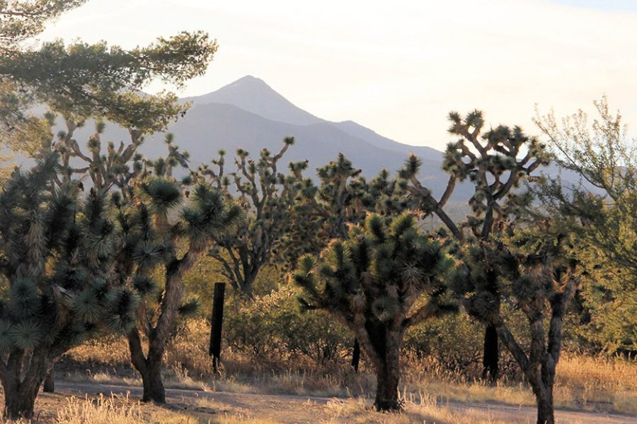 Record-setting Joshua Tree discovered at proposed national monument in Nevada