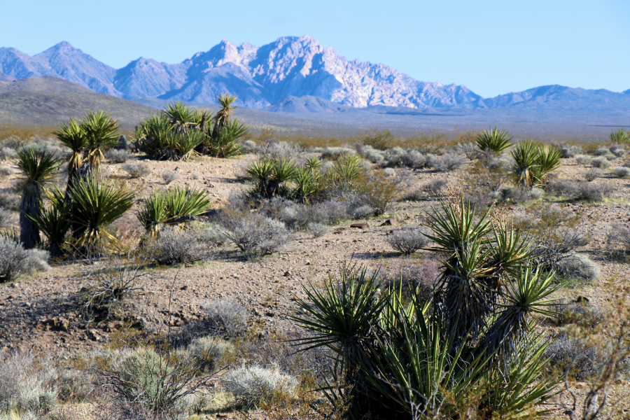 Land Battle Brewing Over 'World's Largest Joshua Tree Forest' in Southern Nevada