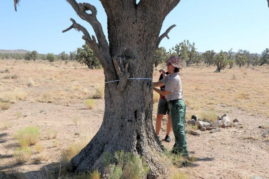 World's third-largest Joshua tree found in southern Nevada; conservationists push for protection